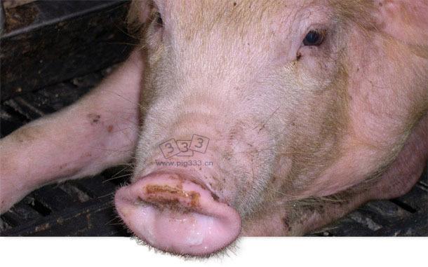 患蓝耳病和猪流感的6周龄断奶仔猪