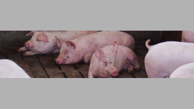 Swine fattening stage