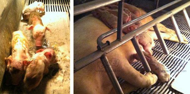 仔猪躺在母猪身上,全身沾满粪便。