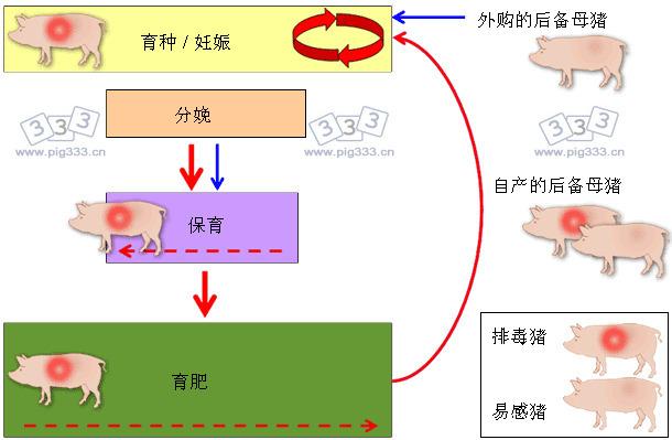 种猪群PRRSV长期感染模式图