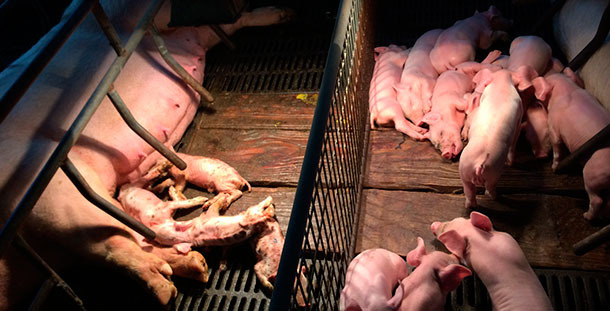 Severe diarrhoea and dehydration in PED affected piglets (left), compared to normal adjacent litter.