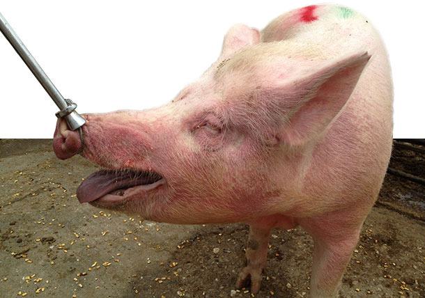 Diseased sow in group housing pen with EM, characterized by red, raised skin areas on the neck and the face