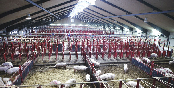 Farm with a translucent ceiling. We can see a considerable increase in lighting. As it is placed lengthwise and at a great height we get a more uniform lighting than with other layouts.