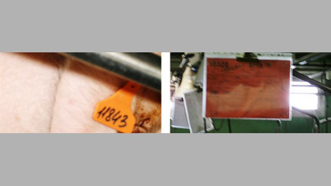 Distinguishing sows with different genetics using cards and ear tags with different colours