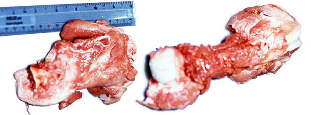 Fractured head of the femur from affected pig
