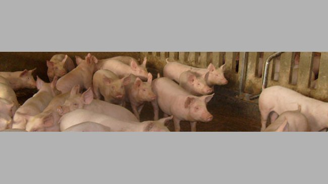 Enzootic pneumonia risk factors in fattening pigs