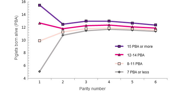 Life performance of a sow based on the number of PBA at first farrowing