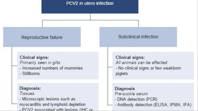 Effects of PCV2 in utero infection