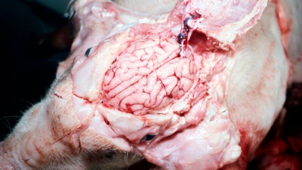 Figure 5. A visibly wet brain.
