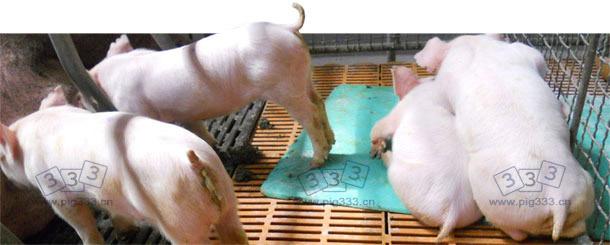 仔猪爆发PED后表现呕吐、消瘦、腹泻等症状