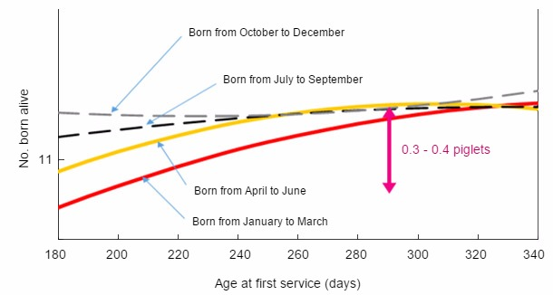 Relationship between month of birth and age at first service, with piglets born alive at first farrowing.