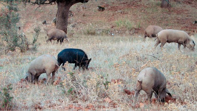 Contact with wild boars is more likely in outdoor farms, but some pathogens, such as the Aujeszky's disease or classical swine fever viruses, can manage to reach those pigs housed in barns.