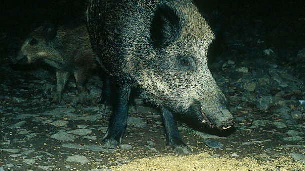 Feeding wild boars, whether for hunting or damage avoidance, requires debate and regulation.
