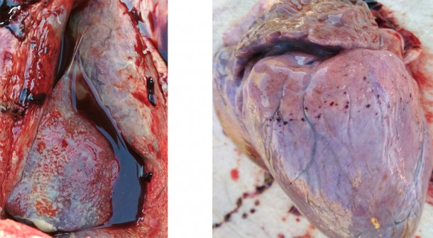 Fig 3-4: Presence of fibrinous pleurisy and pericarditis (left). Petechial hemorrhage on heart (right).