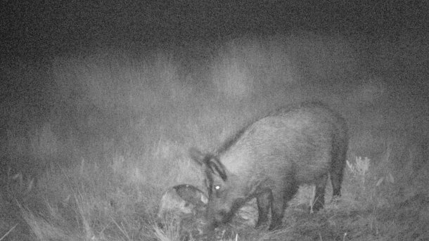 Photo 4: Photo traps allows to find out the use that wild boars make of carcasses and hunting waste. It is important to avoid that the hunting remains are accessible to wild boars