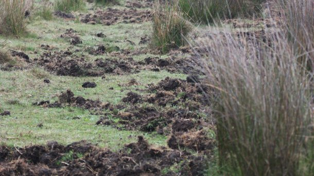 Photo 1: Rooting marks show the presence of wild boars. It is preferable to build new pig farms away from forest areas or riverbanks, as well as cornfields and irrigated land