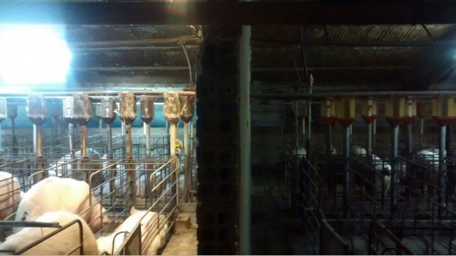 Photo 1. Difference of lighting in gestation barn before and after the installation of an extra lighting system.