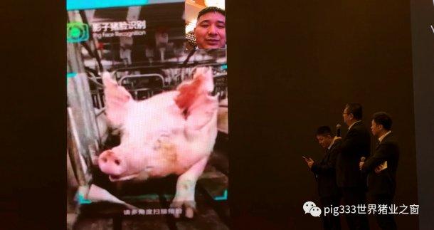 Pig333wechat 5
