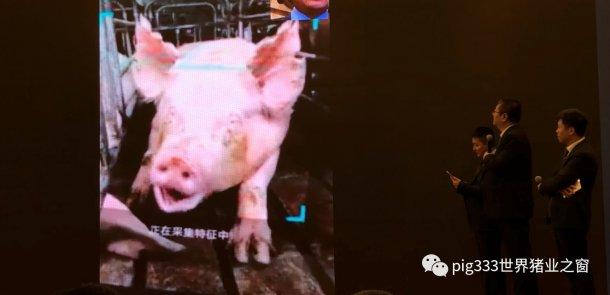 Pig333wechat 10