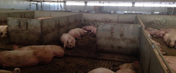 图:为了满足动物福利要求,将妊娠母猪栏改造为群养大栏