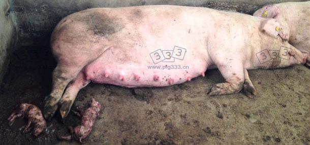 图:群养大栏内母猪早产