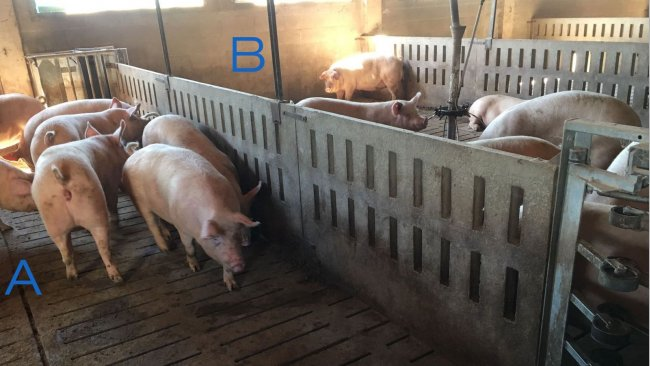 Photo 2. Pen for training the gilts to enter and exit the feeding station. Side A only has drinkers, and the feeding troughs are in area B. To encourage the sows to go from one side to the other, the feed is placed in one side (B), and in side A there is only water.