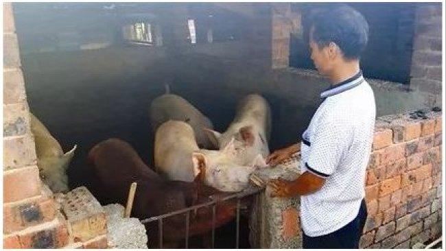 Pig333wechat 2