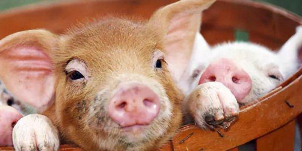 Pig333wechat