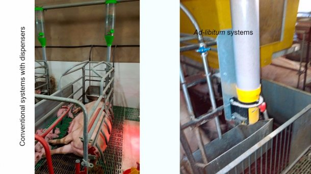 """Conventional systems with a dispenser are a good option, but they require a very good level of stockmanship, controlling whether the sows may eat more feed andmodifying the dispensers daily. Ad-libitum systems pretend notto """"limit"""" sow intake. Apart from this, feeding at night, when temperature drops, is helpful in warm areas or climates."""
