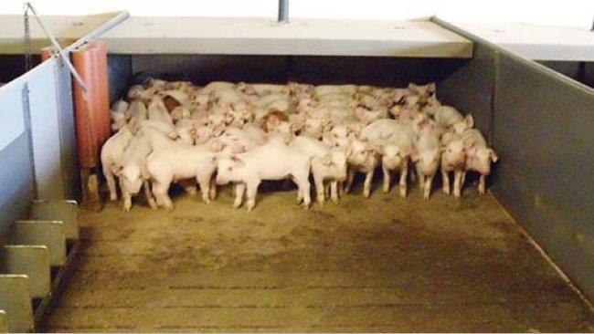 照片1.部分漏粪板的实心地板现在在许多猪场非常普遍。在一些国家,它们是强制性的。在这种地板上,仔猪可以根据温度和气流选择其休息区域。