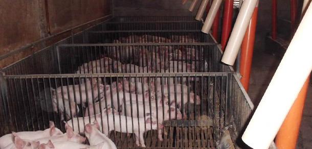 猪栏的数量越多,需要的饲喂,排便和休息的区域就越多。