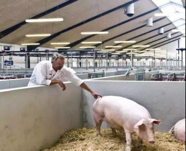 Pig333wechat 8