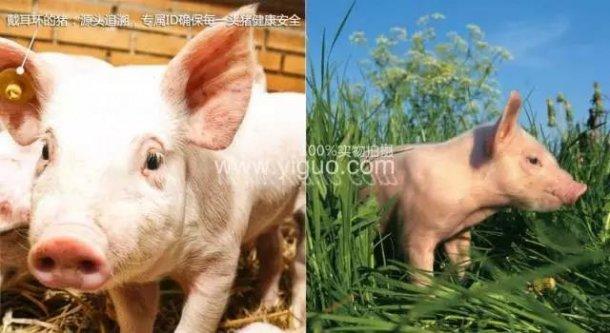 Pig333wechat 14