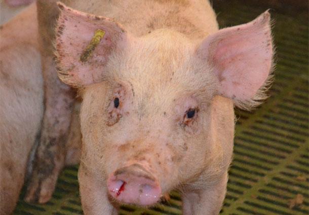 图1.猪在过渡阶段鼻出血