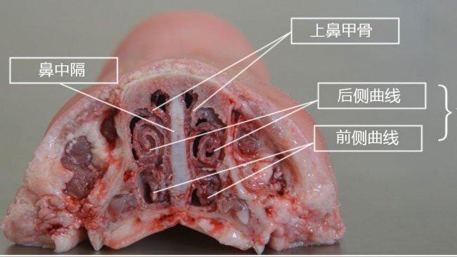 图2.鼻甲骨解剖
