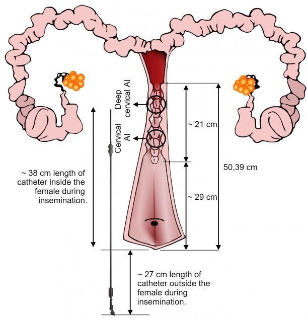 Figure 4. Representation of the IA catheter arrangement in the female genital tract during AI. The dimensions have been obtained from inseminations and genital tracts of nulliparous sows from the slaughterhouse.