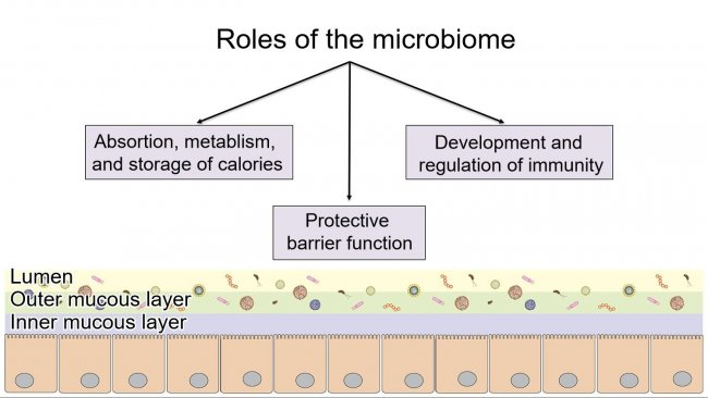 Roles of the microbiome: providing a protective intestinal barrier, digesting and metabolizing nutrients, and regulating immunity.