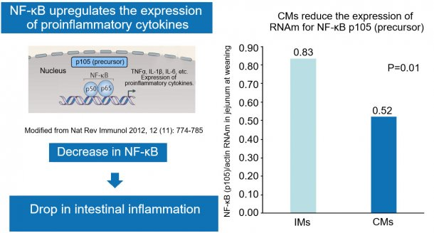 Figure 2. The drop in nuclear factor NF-κB reduces gut inflammation.