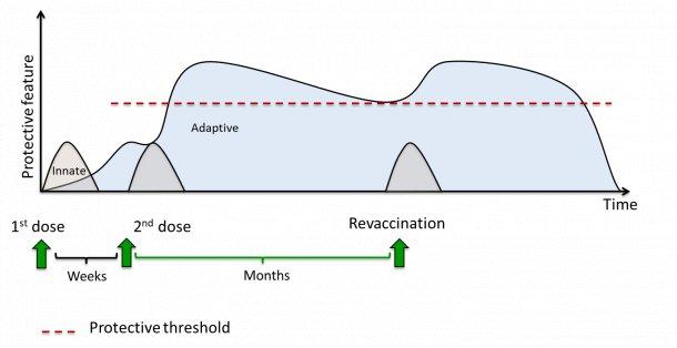 图 1.疫苗诱导的免疫反应