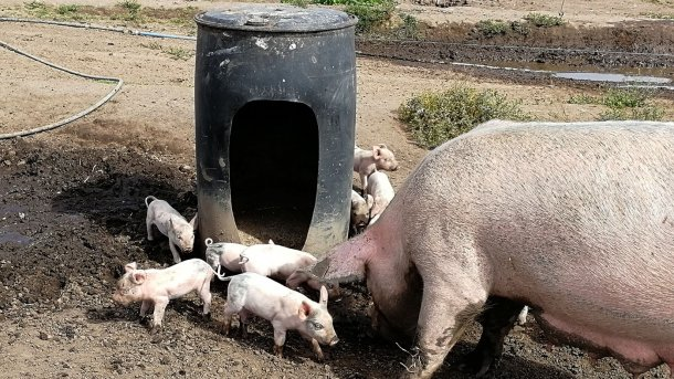 料桶旁边的仔猪