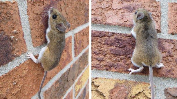 Deer mouse climbing a brick wall. Source: Nature Guelph Tracking Club (natureguelphtracking.wordpress.com)