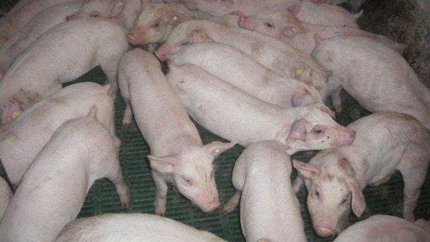 图像2: 断奶仔猪和母猪是猪场内病毒传播的主要原因。