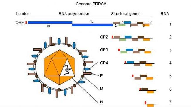 图1. PRRSV的基因组是单链RNA分子。