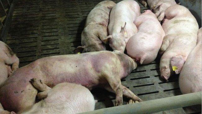 图片为检测到感染14天后的猪。全身严重性出血性损伤。