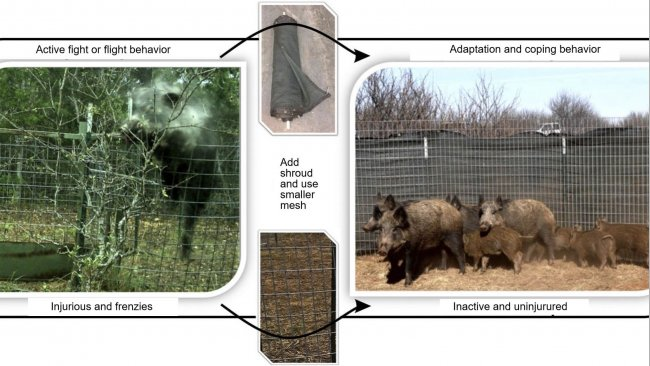 Reducing injury and flight response when capturing wild pigs