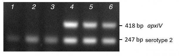图2.用MPCR1对3个临床血清型2分离株的纯化菌落聚合酶链反应(泳道1-3)和DNA(泳道4-6)的条带扩增进行比较。