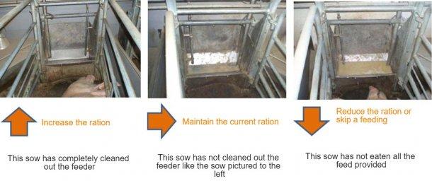 图2:每天至少检查一次料槽,并根据观察结果决定母猪供料量。资料来源:猪研究中心