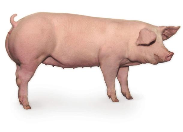银农新加系长白种猪