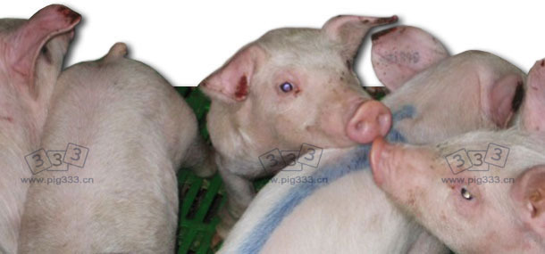 Group of piglets with necroses on the tip of the ears.