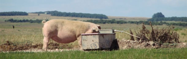 户外生态猪场